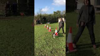Blind dog learning left and right directions. Blind Gus does agility. Blind dog doing agility.
