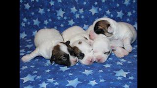 Coton de Tulear Puppies For Sale - Kiwi 4/7/20