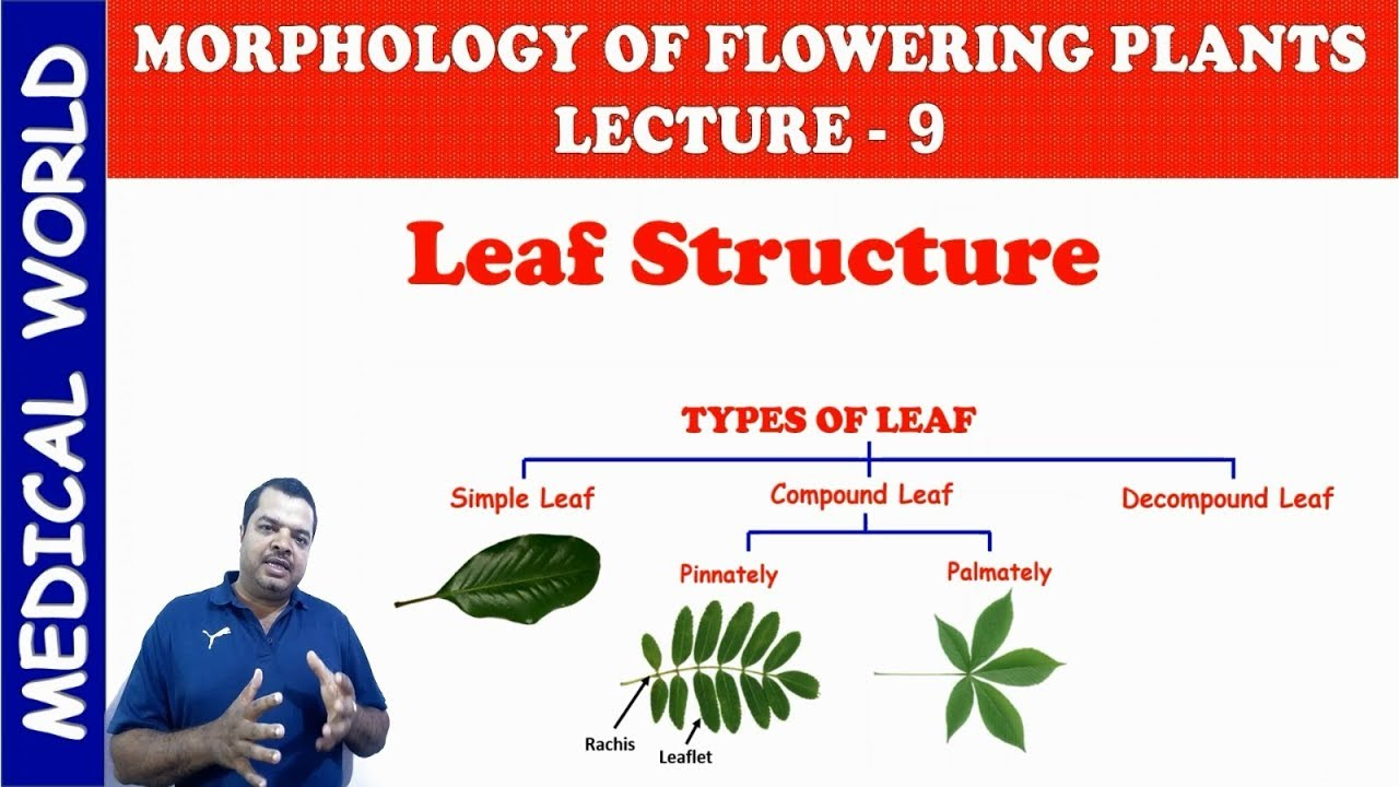 LEAF STRUCTURE MORPHOLOGY OF FLOWERING PLANTS LECTURE 9 ...