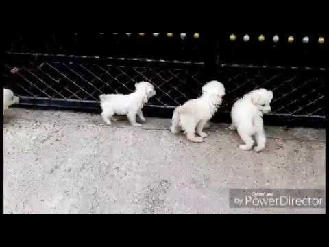 😍Cute Pomeranian Puppies from India
