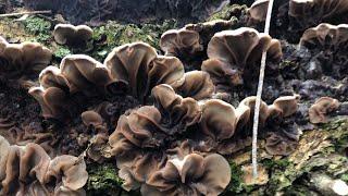 Аурикулярия извилистая (Auricularia mesenterica): как готовить?