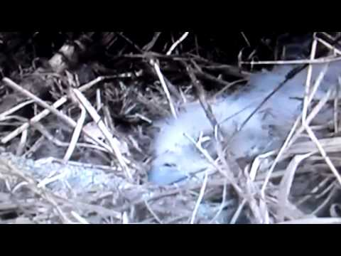 Decorah, Iowa (USA) Eagles - Live Stream Panning by Raptor Resource Project