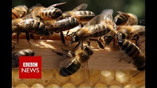 Thousands of bees swarm into car   BBC News