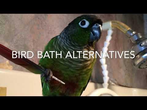 Bird Baths & Beyond - Guide to Green Cheek Conure Behavior: