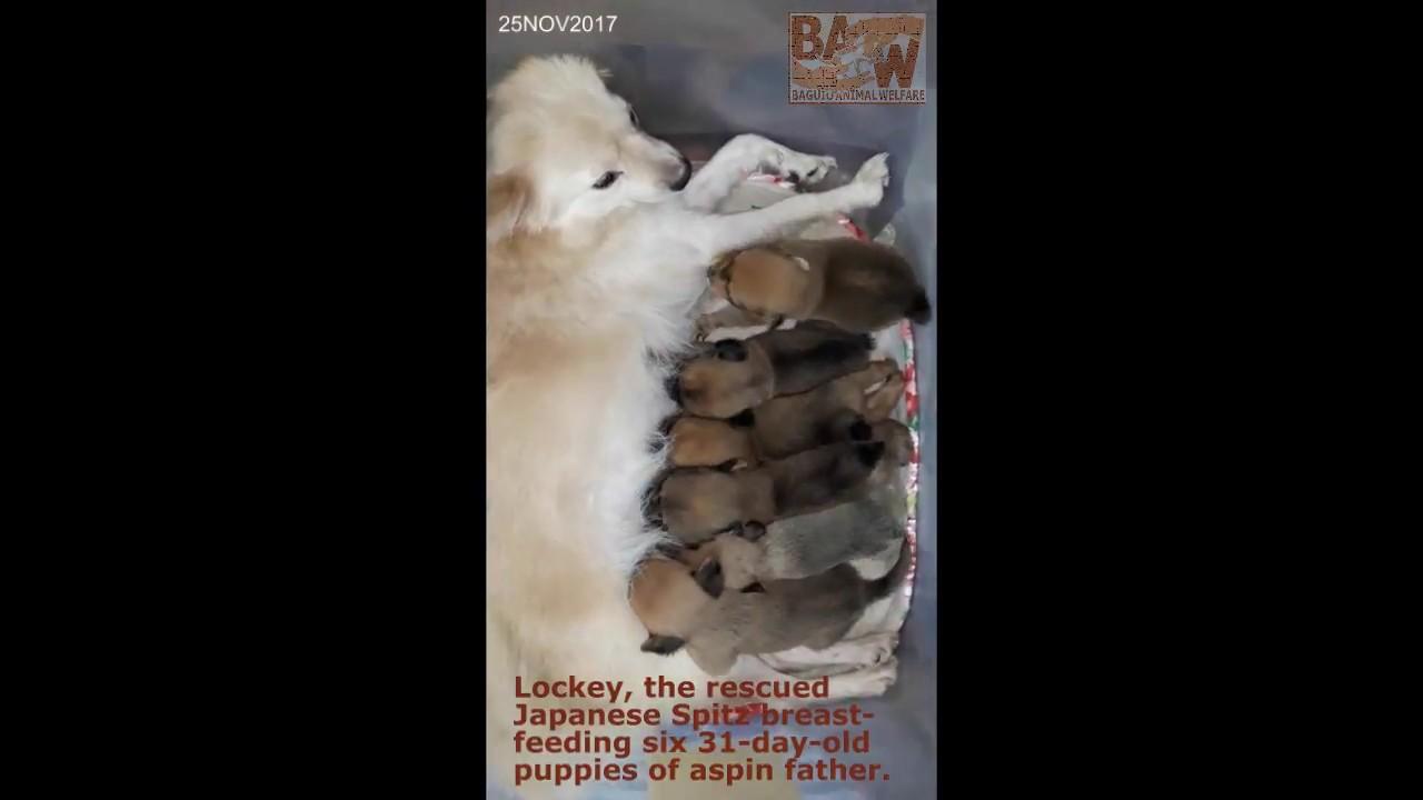 rescued japanese spitz breastfeeding 6 puppies (baguio animal