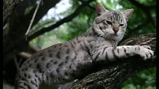 Австралийский мист - кошка в доме