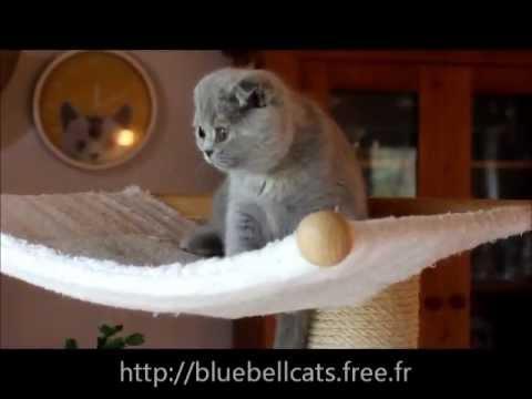 chaton scottish fold joue dans larbre chat suite