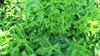 Stevia Cultivation in India