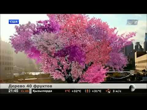Очень необычное дерево. Дерево 40 плодов!