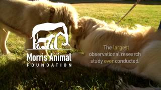Golden Retriever Lifetime Study Psa - For Golden Owners (30second Sponsor)