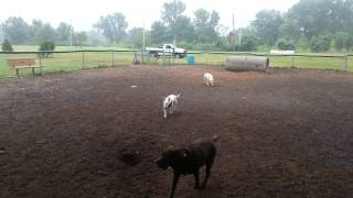 Bull Terrier @ Overpeck Dog Park Leonia, Nj