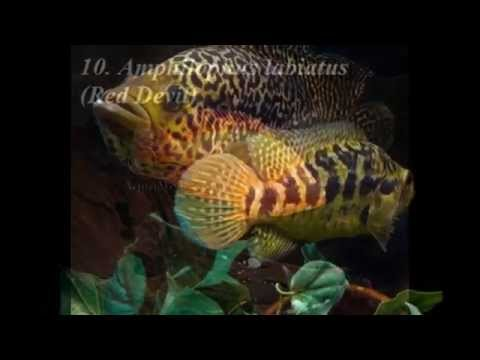 15 Most Aggressive Cichlids