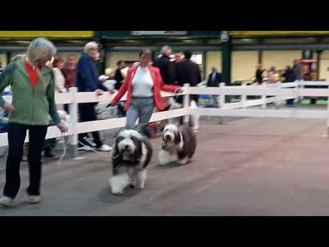 Bearded Collie BPIB Challenge
