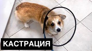 Кастрация собаки Как все прошло / VLOG