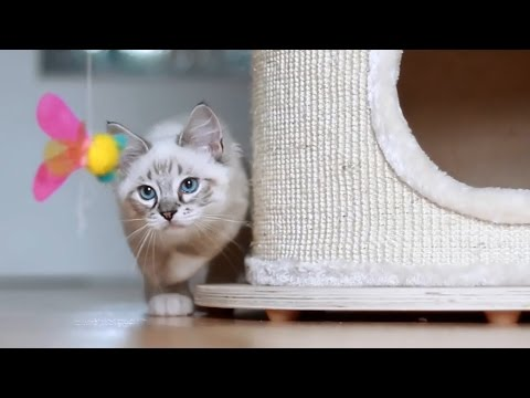 cute ragdoll cat thorin loves his butterfly