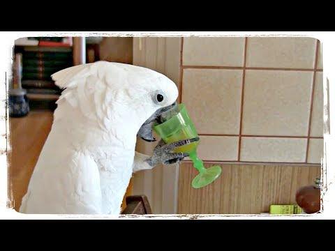 ПРИКОЛЫ С ЖИВОТНЫМИ, приколы с попугаями | FUN WITH ANIMALS, Funny Parrots #429