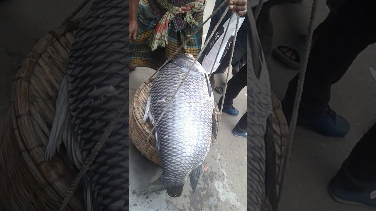 বিশাল আকৃতির কাতলা মাছ ।। big katla fish bd