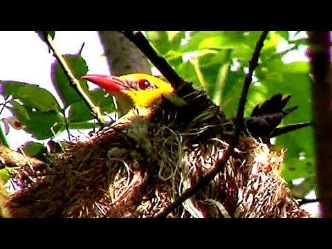 Вопрос: Как называют птенцов иволги?