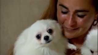 domingo espetacular Lulu da Pomerânia cãozinho virou xodó e é o mais caro do Brasil 06 04 2014 mircm