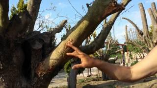 Zeytin Nasıl Dikilir, Zeytin Ağacı Ne Zaman Dikilir