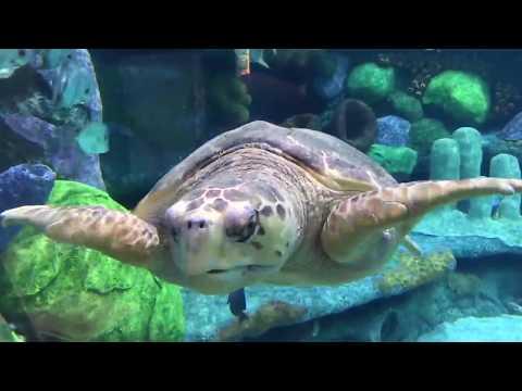 Loggerhead Sea Turtle 3 - Oklahoma Aquarium - Nov 2017 HD