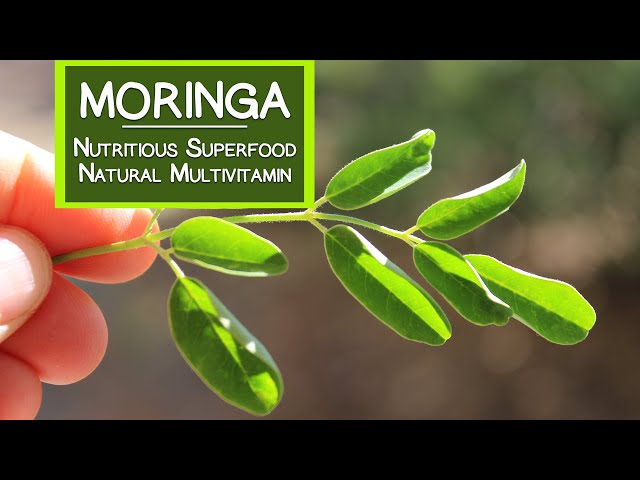 Moringa, A Nutritious Superfood and Natural Multivitamin