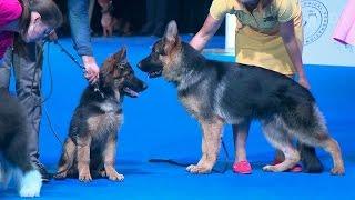 Самая представительная выставка собак проходит в Москве.