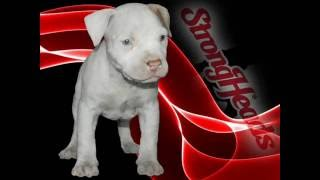 STRONG HEADS AMERICAN PITBULL TERRIER