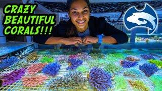 Cairns Marine's Vast Supply Of Beautiful Corals, Australia Tour Part 9