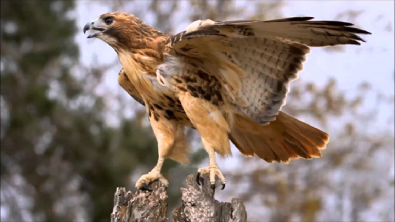 Ring Tailed Hawk