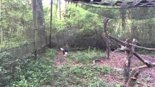 Bald Eagle eats rat and mouse!