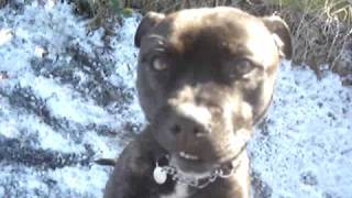 Yani Enjoying The Snow (now Rehomed) - Staffordshire Bull Terrier - Rspca Macclesfield