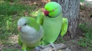 Попугай зацеловал свою подружку / parrots kiss