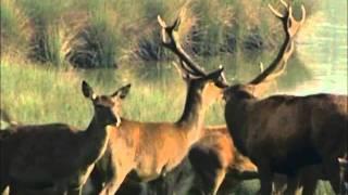 Brame du cerf au Parc Animalier de Sainte-Croix