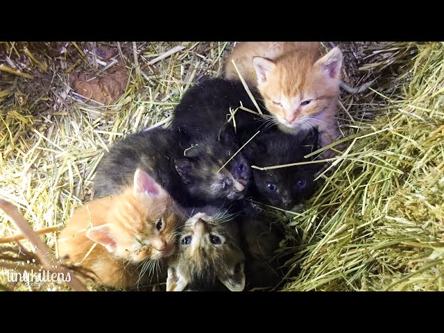 LIVE:  Surprise baby kittens from Stanley's feral colony!  TinyKittens.com