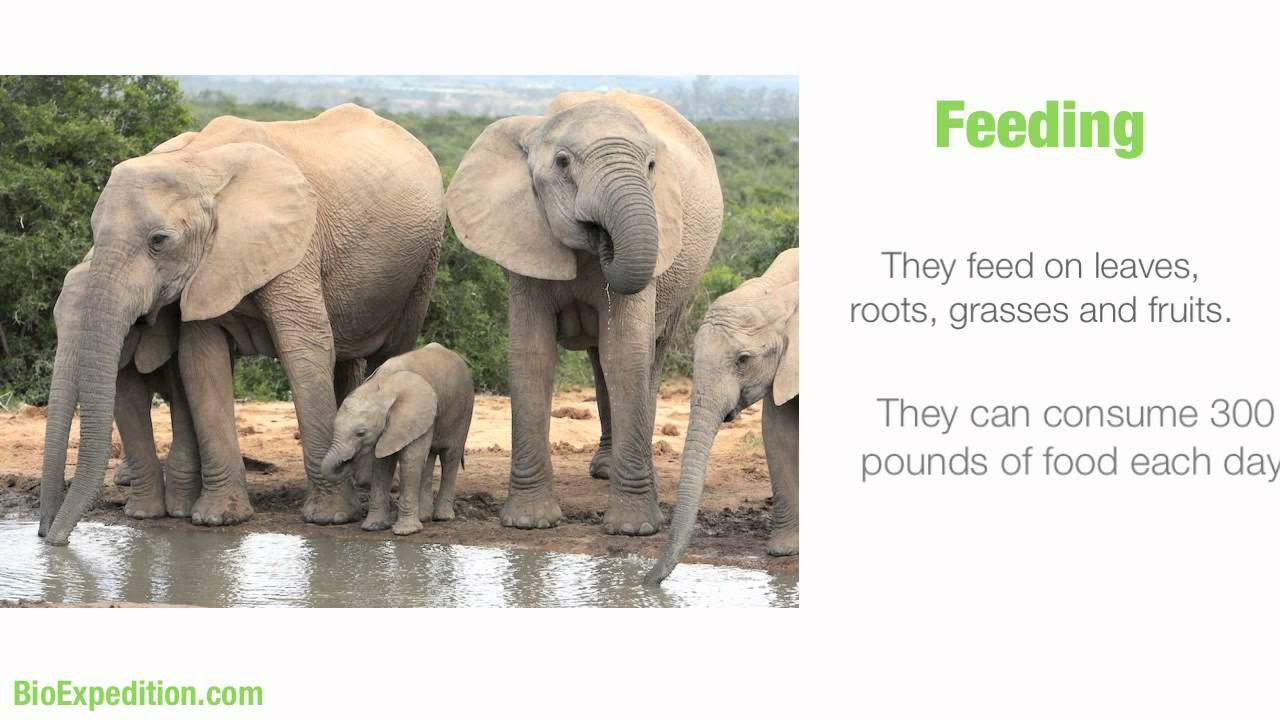 Uncategorized Elephant Information information about african elephants youtube