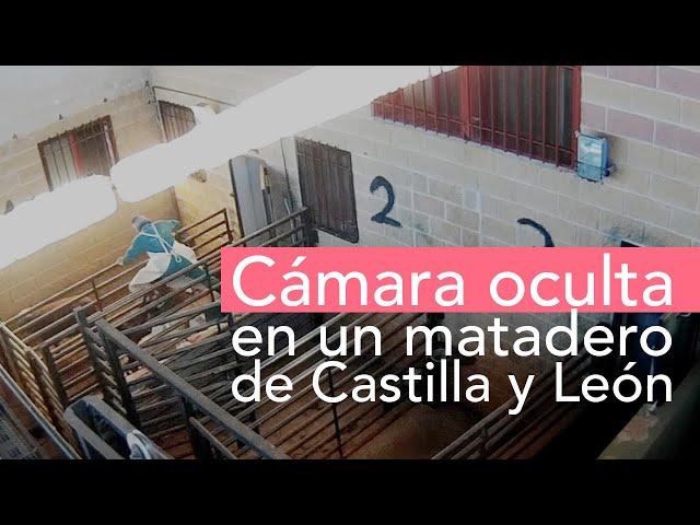 Equalia desvela nuevas irregularidades graves en otro matadero de Castilla y León