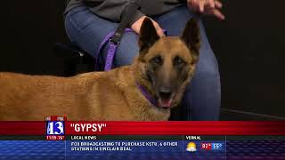 GYPSY - Fox 13 Best Friend from the Humane Society of Utah