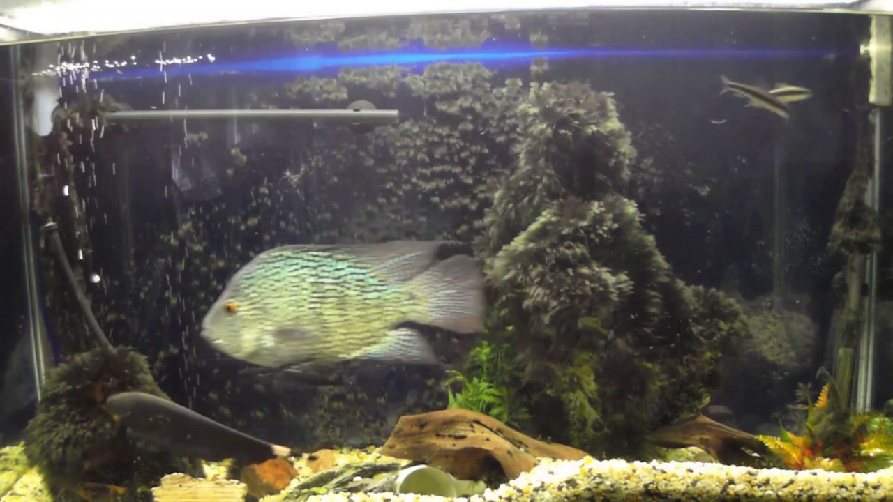 My fish can swim backwards not fake youtube for Fish swimming backwards