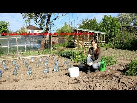 Посадка кабачков семенами в открытый грунт | семенами | посадить | открытый | кабачков | посадка | кабачки | сажать | грунт | пос | как