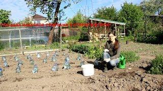 Посадка кабачков семенами в открытый грунт