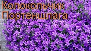 Колокольчик портеншлага (campanula portenschlagiana) ???? обзор: как сажать, рассада колокольчика