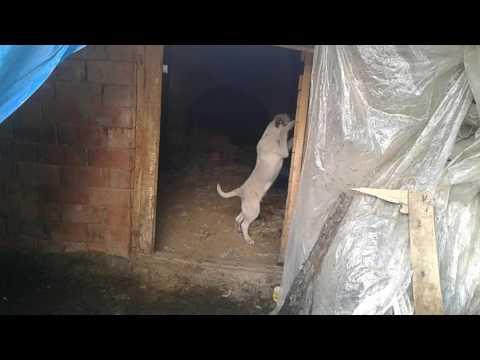 Satlik enik kangal yer uşak karahalli 05437190241