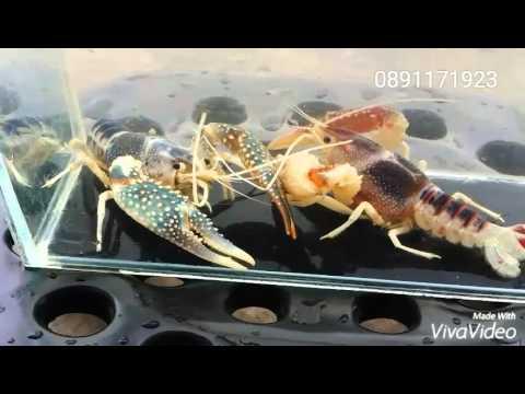 กุ้ง โกส Procambarus Clarkii Crayfish in thailand Breeding