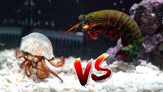 Giant Hermit Crab vs Giant Mantis Shrimp Rematch!! *Epic Battle Royale*