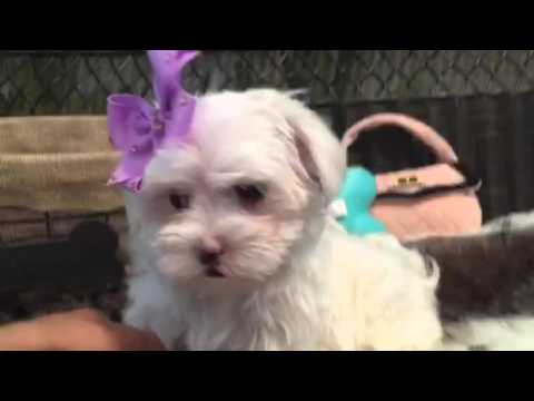 Adorable female Maltese Puppy!