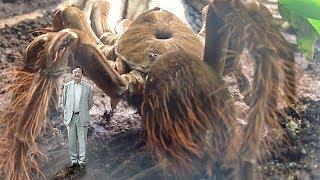 Учёные Обнаружили Самого Большого Паука в Мире