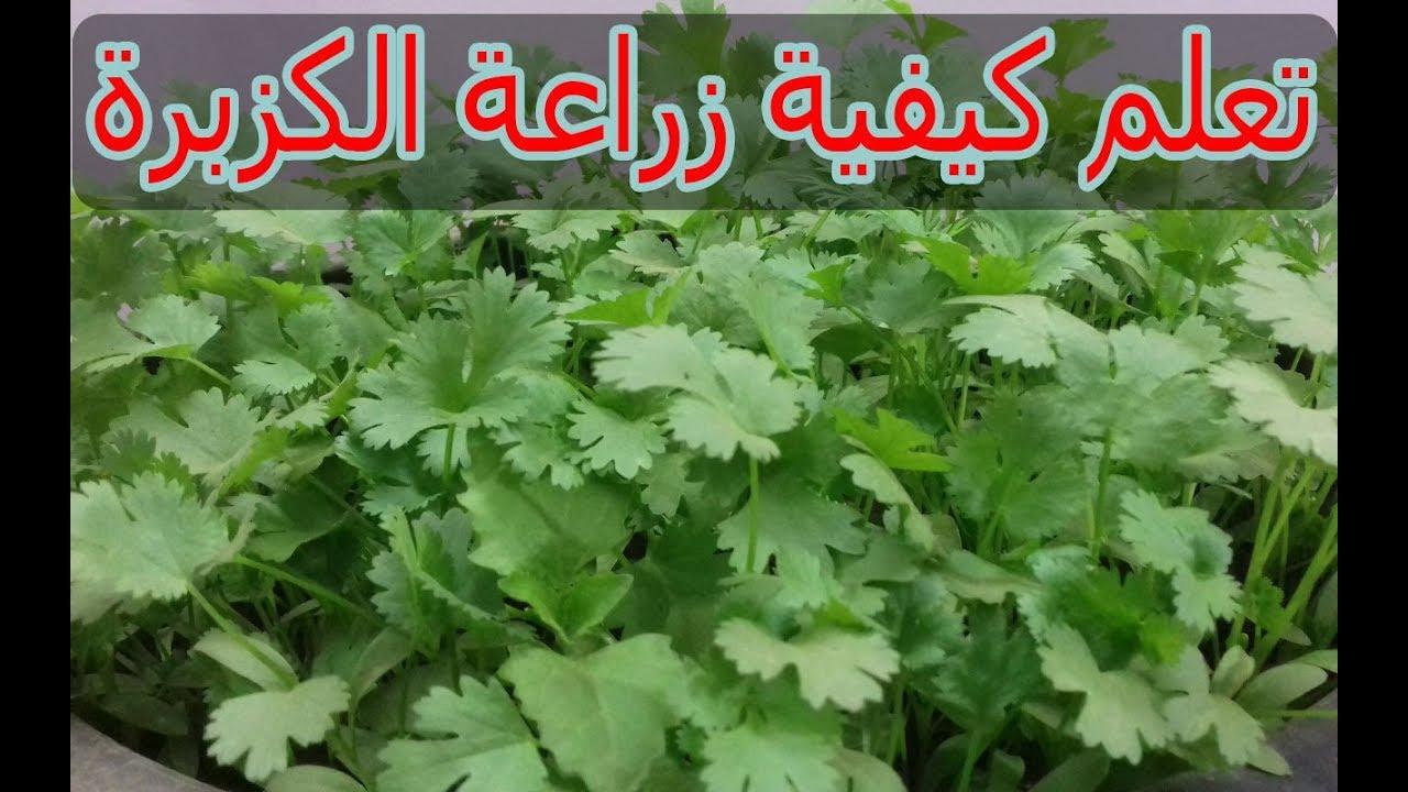 طريقة زراعة الكزبرة من البذور فى المنزل Youtube Herbs Ale