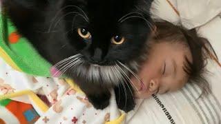 娘の布団代わりになる猫 ラガマフィン  A cat that warms a sleeping daughter