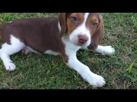 Rabbit Beagles 4 Sale!!!!